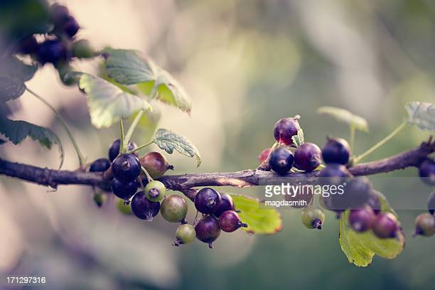 black currant - magdasmith stock pictures, royalty-free photos & images