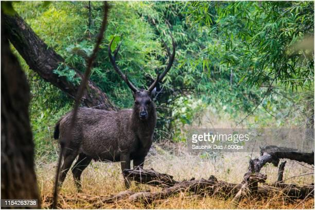 black deer in dark forest in india - nilgai fotografías e imágenes de stock