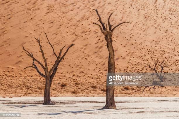 black desert trees namibia dead vlei desert salt pan - セスリエム ストックフォトと画像