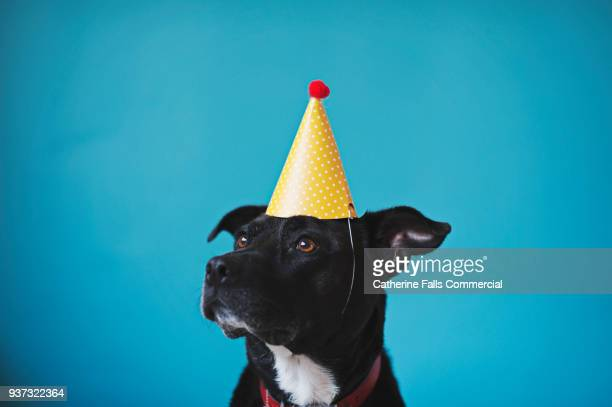 black dog against blue backdrop in birthday hat - happy birthday stock pictures, royalty-free photos & images