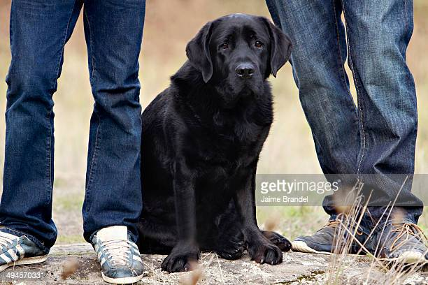 black dog and denim - black labrador stock pictures, royalty-free photos & images