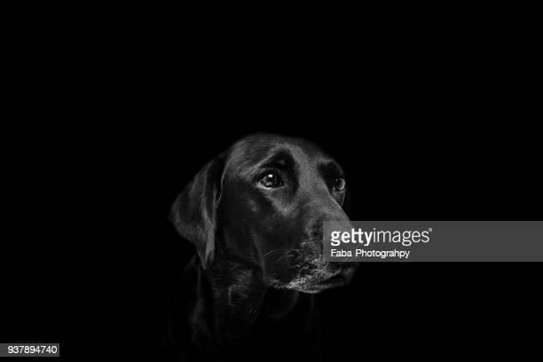 black dog in front of black background - jaded pictures fotografías e imágenes de stock