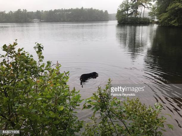 Black dog is swimming in lake and creating waves in the water.