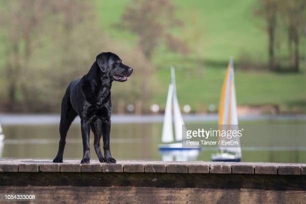 black dog looking away while standing on retaining wall against lake - retaining wall stock pictures, royalty-free photos & images