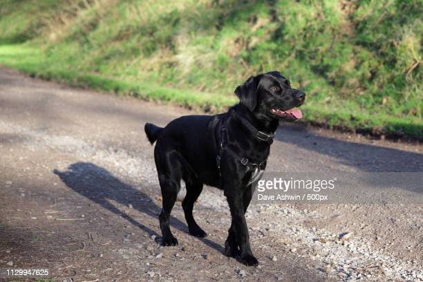black dog - dave ashwin stock pictures, royalty-free photos & images