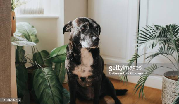 black dog - mixed breed dog stock pictures, royalty-free photos & images