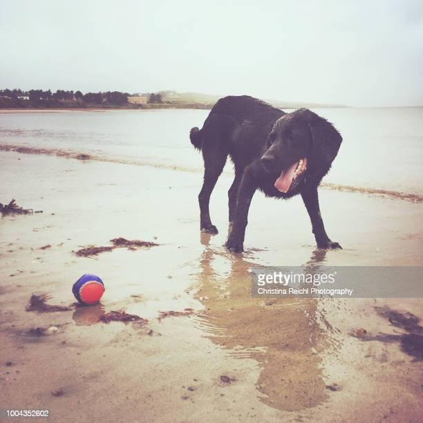 Black dog playing catch on beach
