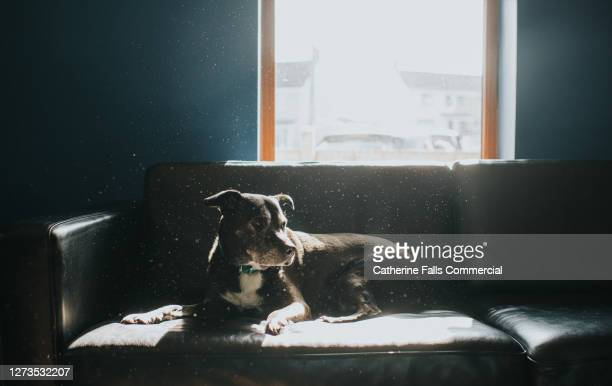 black dog relaxing on a black leather sofa in sunbeams - sofa stock pictures, royalty-free photos & images
