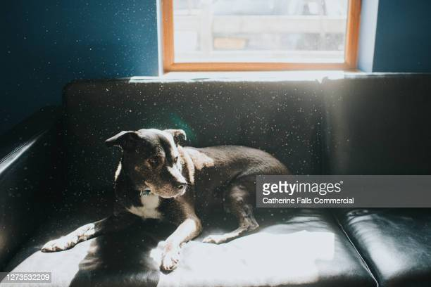 black dog relaxing on a black leather sofa in sunbeams - snout stock pictures, royalty-free photos & images