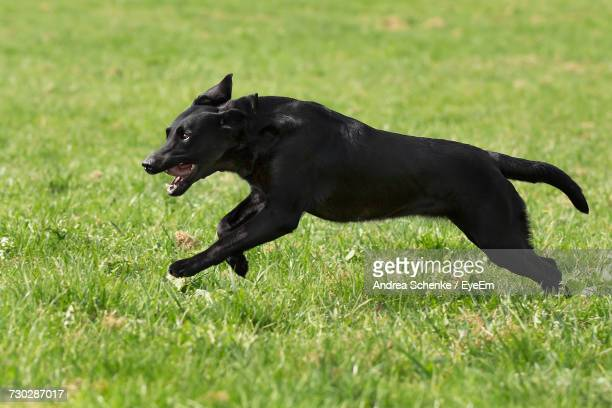 black dog running on field - labrador preto imagens e fotografias de stock
