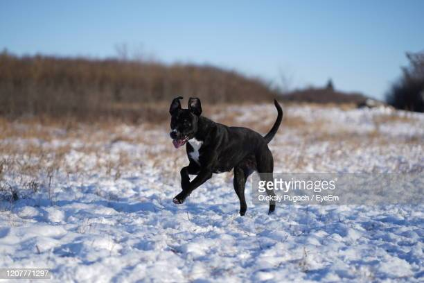 black dog running on snow covered field - dawn bess stock pictures, royalty-free photos & images