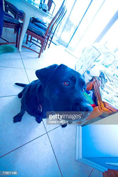 black dog seated on white tile floor - dana white stock pictures, royalty-free photos & images