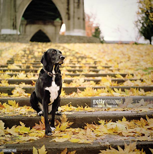 black dog sitting in leaves - pointer dog stock pictures, royalty-free photos & images