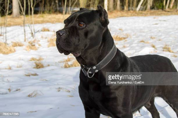 black dog standing on snow field - eye black stock photos and pictures