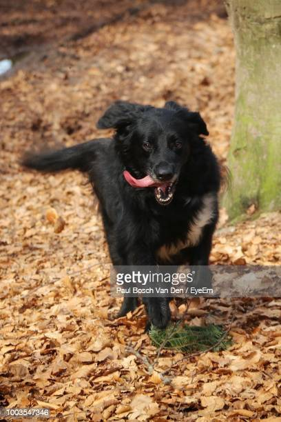 Black Dog Sticking Out Tongue While Running On Dry Leaves