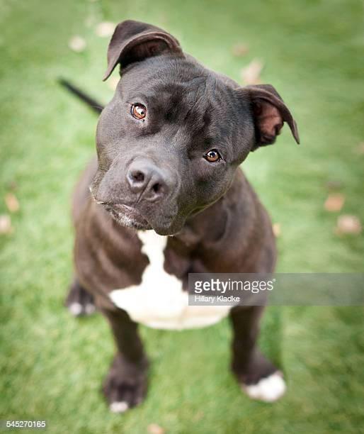 Black dog tilting head