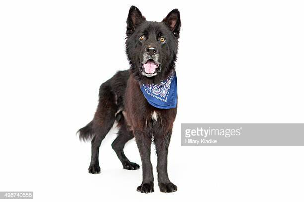 black dog with blue bandana - chow stock pictures, royalty-free photos & images