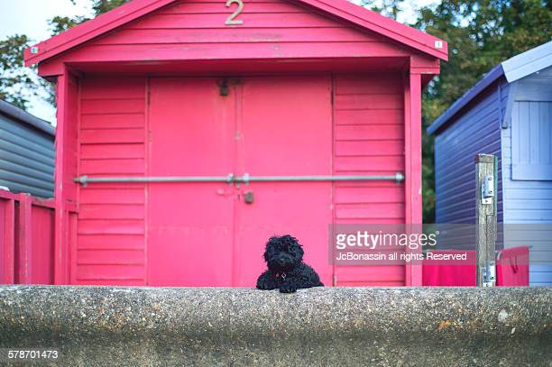 a black doggy waiting in the beach house - jcbonassin stock pictures, royalty-free photos & images
