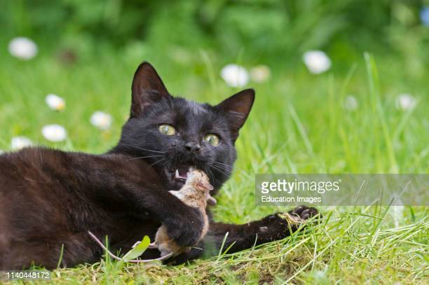 Black domestic cat in garden with recently caught mouse Norfolk.