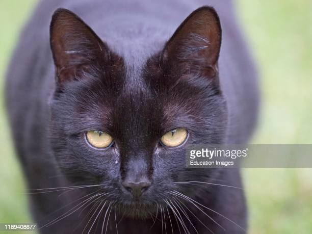 Black Domestic cat on the prowl, Norfolk, UK.