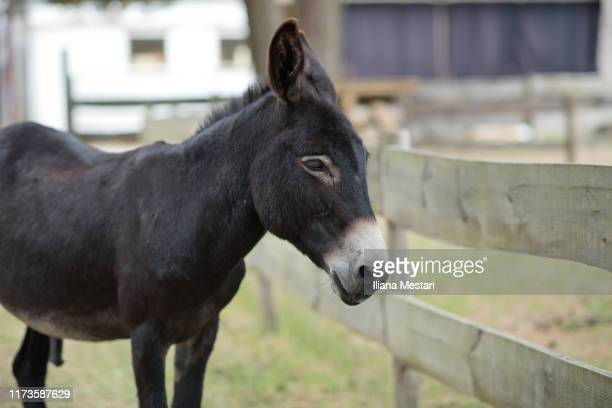 black donkey in a yard - cantal stock pictures, royalty-free photos & images