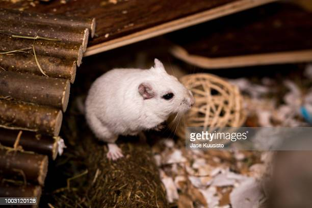 black eyed white gerbil standing on a log - gerbil - fotografias e filmes do acervo