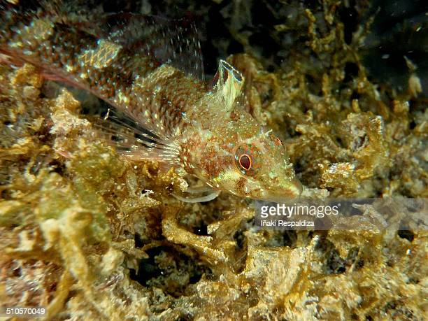 black faced blenny - iñaki respaldiza 個照片及圖片檔