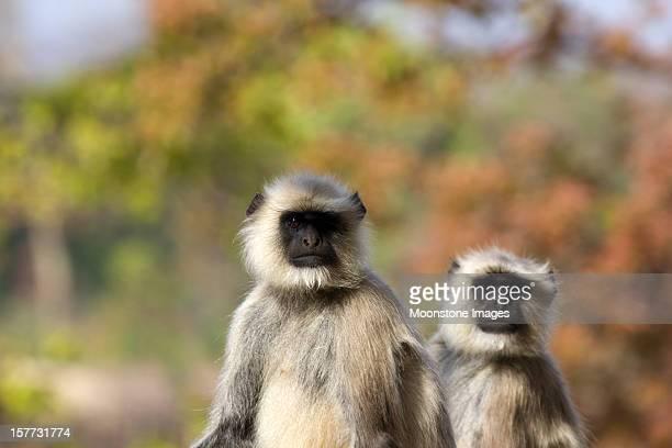 black faced langur in bandhavgarh np, india - bandhavgarh national park stock pictures, royalty-free photos & images