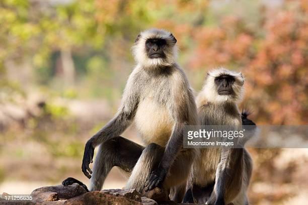 Black faced Langurs in Bandhavgarh NP, India