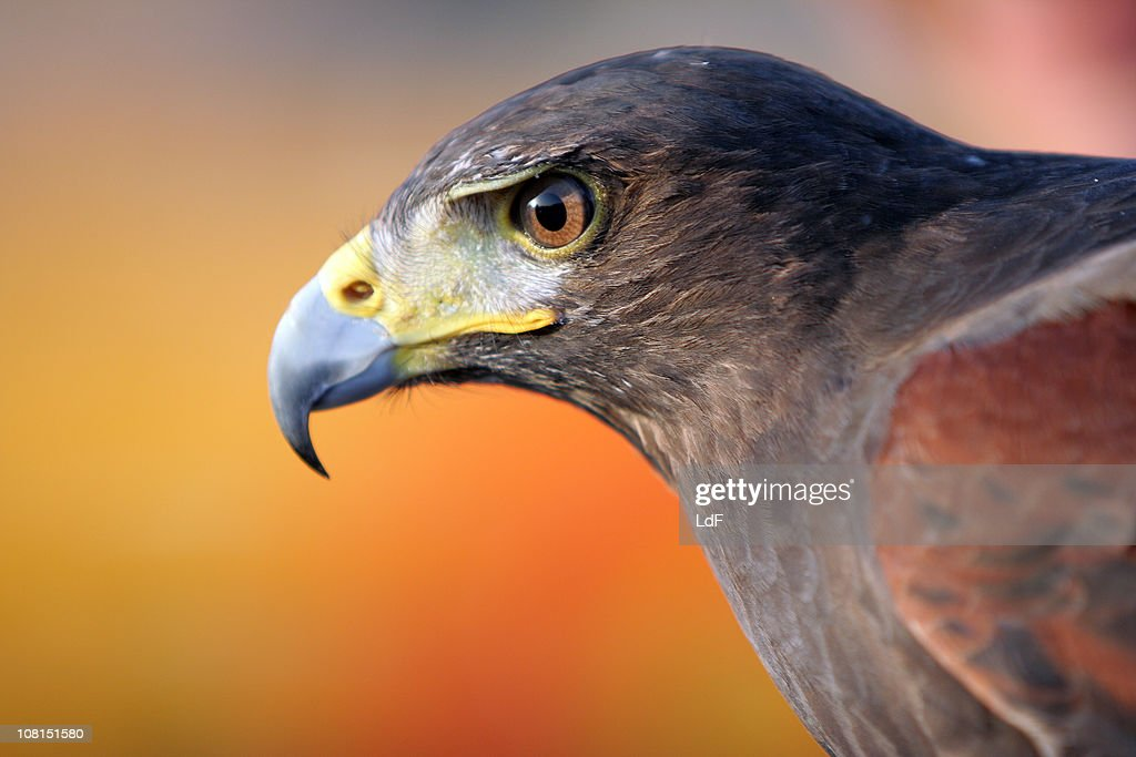 Black Falcon : Stock Photo