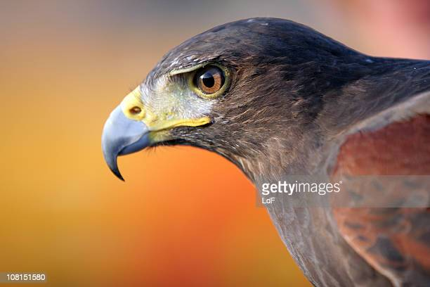 black falcon - hawk stock photos and pictures