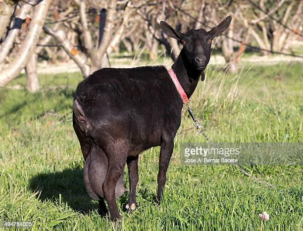 Black female goat tied with a chain outdoors