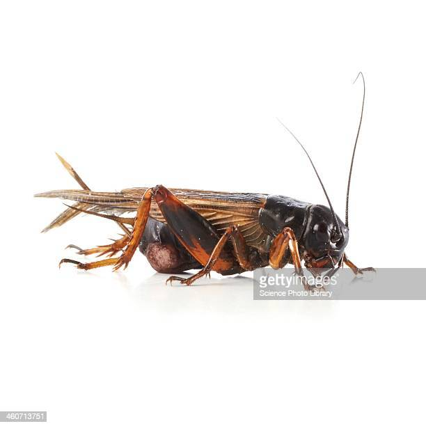 black field cricket - cricket insect stock photos and pictures