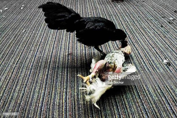 A black fighting cock attacks its rival in the arena of San Miguel in Bogota Colombia on April 07 2006 Cockfight is a widely popular and legal...