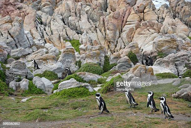Black Footed Jackass Penguins (Speniscus demersus), Betty's Bay, South Western Cape, South Africa