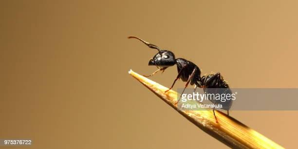 Black garden ant (Lasius niger), Ohio, USA