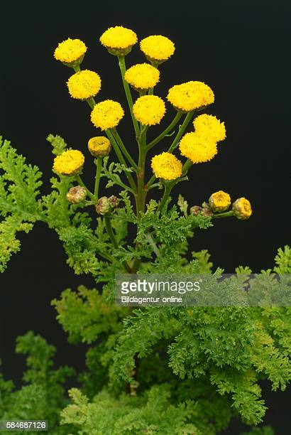 Black Genepi Artemisia umbelliformis species Used as medicinal plant and for herbal liqueur or spiced liqueur halfbitters