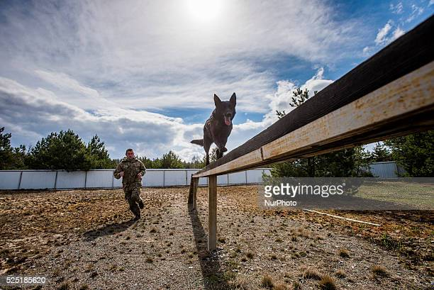 Black German shepherd named Irma walks on thin perch during training at Militia Dog Training and Breeding Center Kyiv Ukraine 1 of April Photographer...
