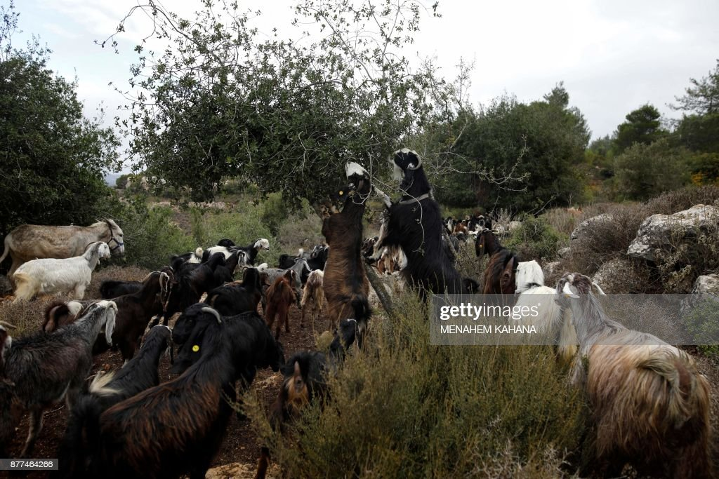 ISRAEL-CONSERVATION-GOAT : News Photo