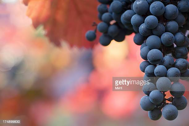Black grapes hanging on the vine on a blurred background