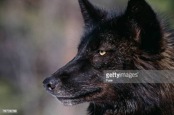 black gray wolf - black wolf stock pictures, royalty-free photos & images