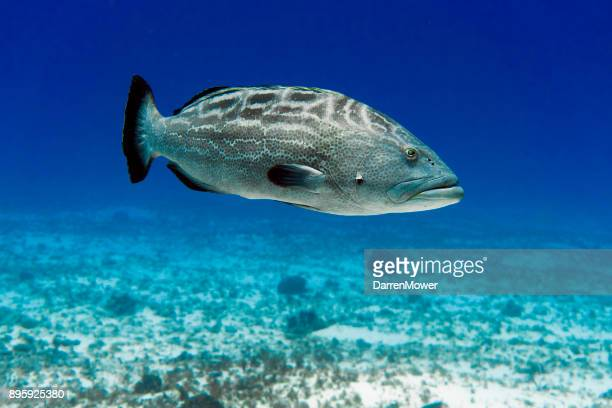 black grouper - grouper stock pictures, royalty-free photos & images
