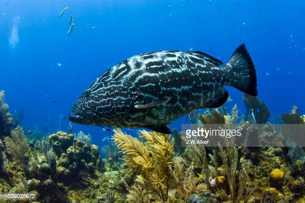 black grouper (mycteroperca bonaci), roatan, honduras, caribbean - vista lateral stock pictures, royalty-free photos & images