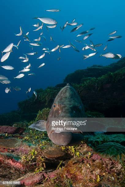 Black grouper (Microperca bonacci) surrounded by fish at Xcalak Marine Park, Quintana Roo, Mexico