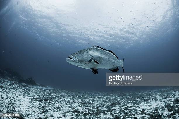 Black grouper (Mycteroperca bonaci) swimming over reef, Cozumel, Quintana Roo, Mexico