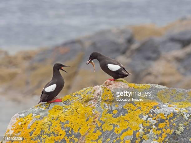 Black Guillemot Cepphus grylle with fish in summer Shetland