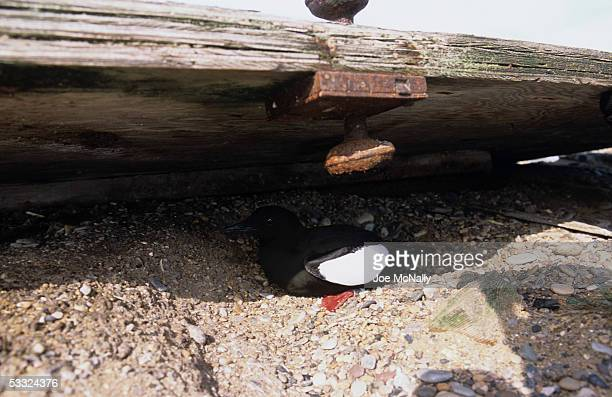 A black guillemot tries out a possible nesting area August 2001 on Cooper Island Alaska Ornithologist George Divoky has journeyed to Cooper Island...