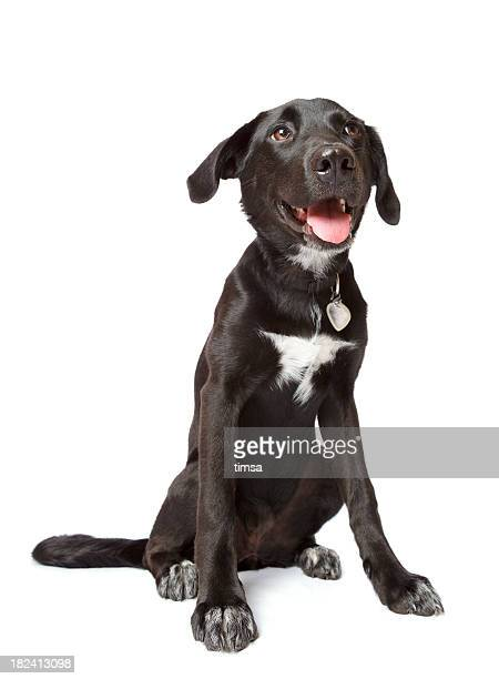 black happy puppy - collar stock pictures, royalty-free photos & images