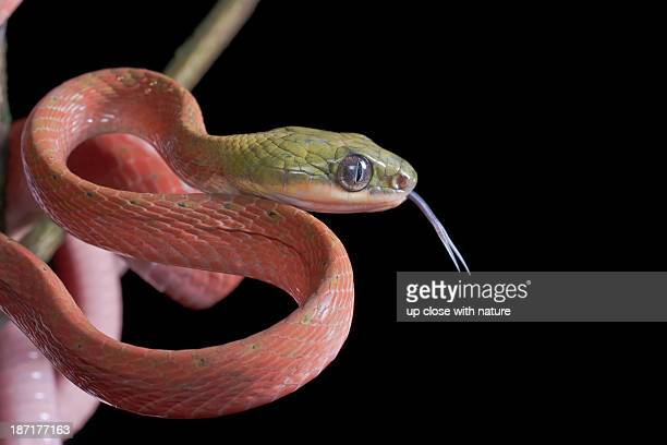 black headed cat snake with tongue sticking out - cat snake stock photos and pictures