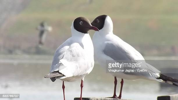 Black Headed Gull By Lake On Sunny Day